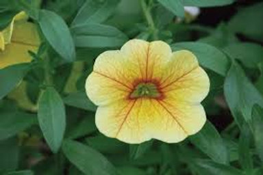 Calibrachoa MiniFamous Uno Yellow+Red Vein
