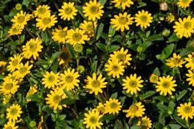 Sanvitalia Tsavo Compact Yellow