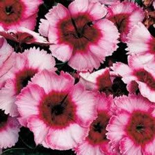 Dianthus Super Parfait Raspberry