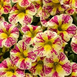 Calibrachoa Superbells Holy Moly!