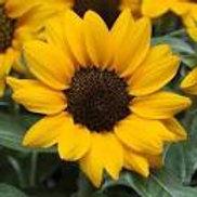 Sunflower Miss Sunshine