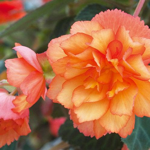 Tuberous Begonia Illumination Apricot