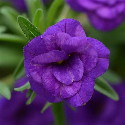 Calibrachoa MiniFamous Double Dark Blue