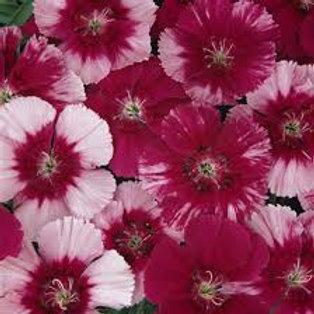 Dianthus Corona Rose