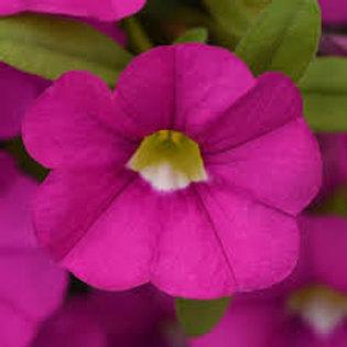 Calibrachoa Cabaret Pink