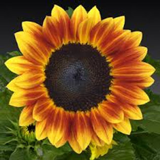 Sunflower Sunsation Flame
