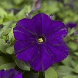 Petunia Picobella Blue