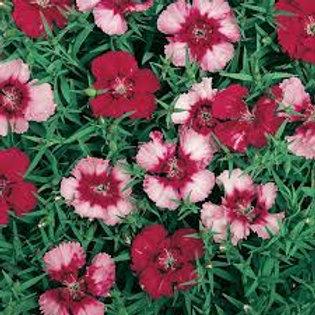 Dianthus Corona Cherry Magic