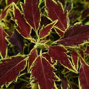 Coleus  FlameThrower Serrano
