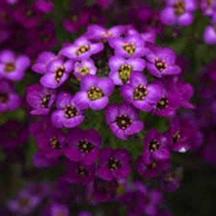 Sweet Alyssum Purple