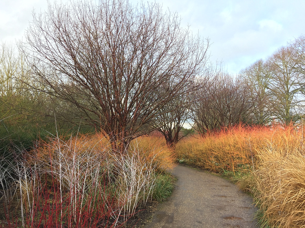 Prunus serrula amidst dogwoods and Rubus cockburnianus