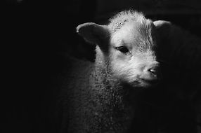 dramatic-lamb-black--white-michael-neil-