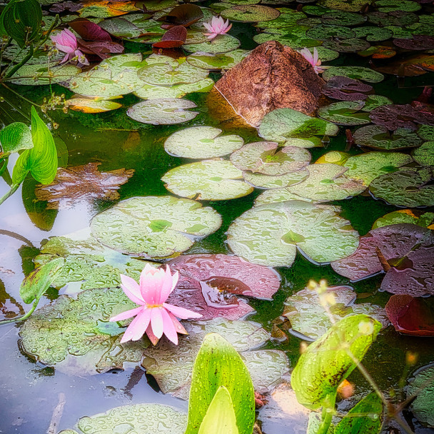 Lily Pond in the Rain, Vancouver_