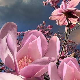 Magnificent Magnolias, Vancouver_