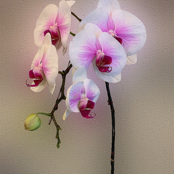Orchid Perfection