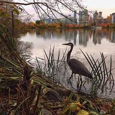 Heron at Lost Lagoon, Stanley Park.