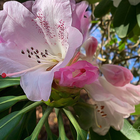 Rhododendron, VanDusen Gardens, Vancouver.