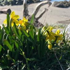 Daffodils, English Bay, Vancouver.