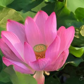 Lotus, China.