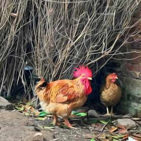 Chickens roaming around village near Yangshuo, China.