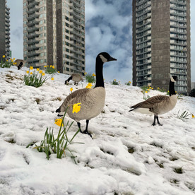 Canada Geese, English Bay.jpeg