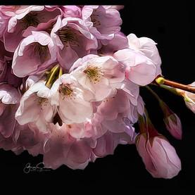 Blossoms, Vancouver_