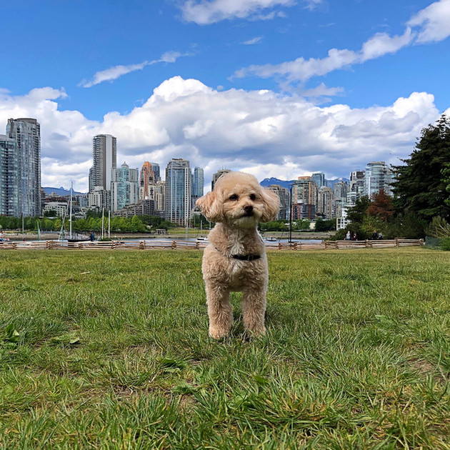 Vancouver skyline, viewed from a popular dog park.