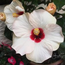 Hibiscus, Vancouver garden.