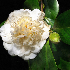 Camellia flower blooming in February, Vancouver.