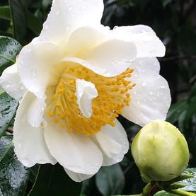 Camellia, Vancouver.