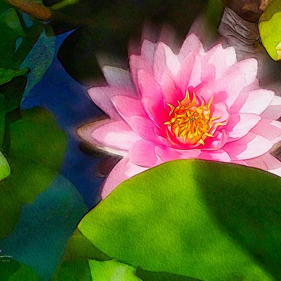 Pink Water Lily, VanDusen Garden_