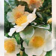 Camellia flowers, Vancouver garden.