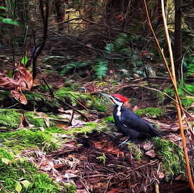 Pileated woodpecker, eating bugs in rotting log, Stanley Park, Vancouver.