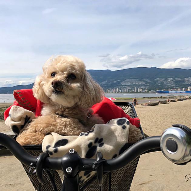 Bike riding dog at Third Beach, Stanley Park.