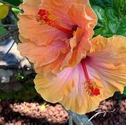 Hibiscus_