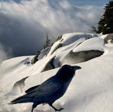 Raven at Eagle Bluffs.jpeg