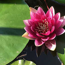 Water Lily, China.