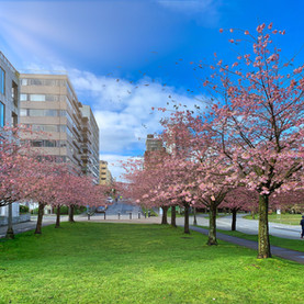 Cherry Blossoms, West End, Vancouver_