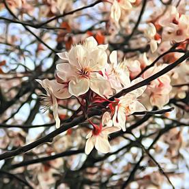 Cherry blossoms, Victoria.