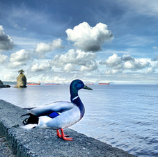Duck at Siwash Rock, Stanley Park