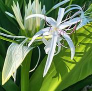 White Spider Lily_