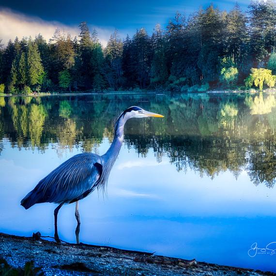 Heron at Lost Lagoon, Vancouver_
