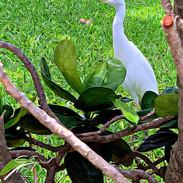 Cattle Egret, on grounds of Napili Kai B