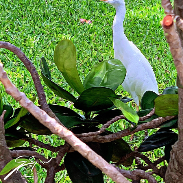Cattle Egret, on grounds of Napili Kai B
