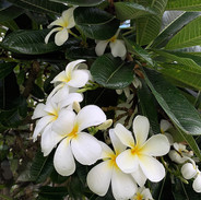 White Plumeria Flowers_