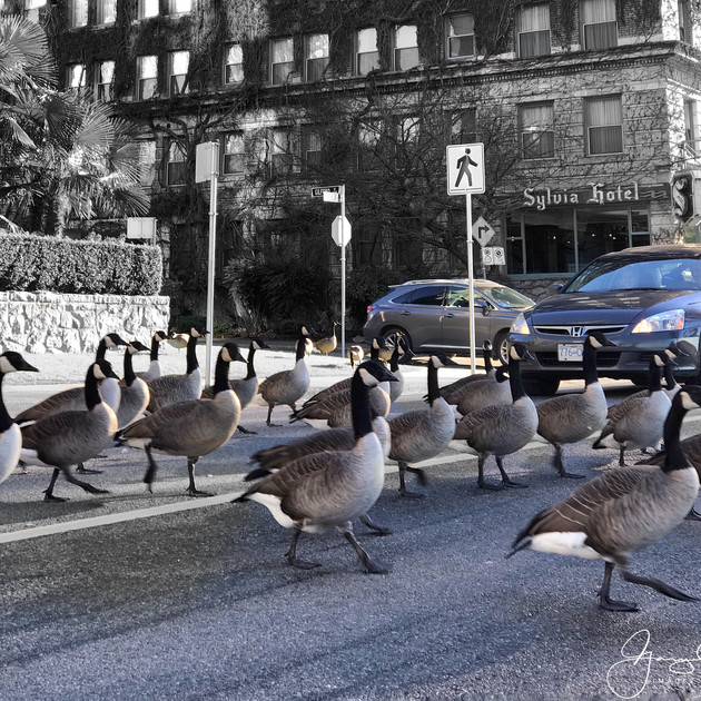 Canada Goose crossing.  English Bay, Vancouver.