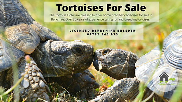 Tortoise for sale.jpeg