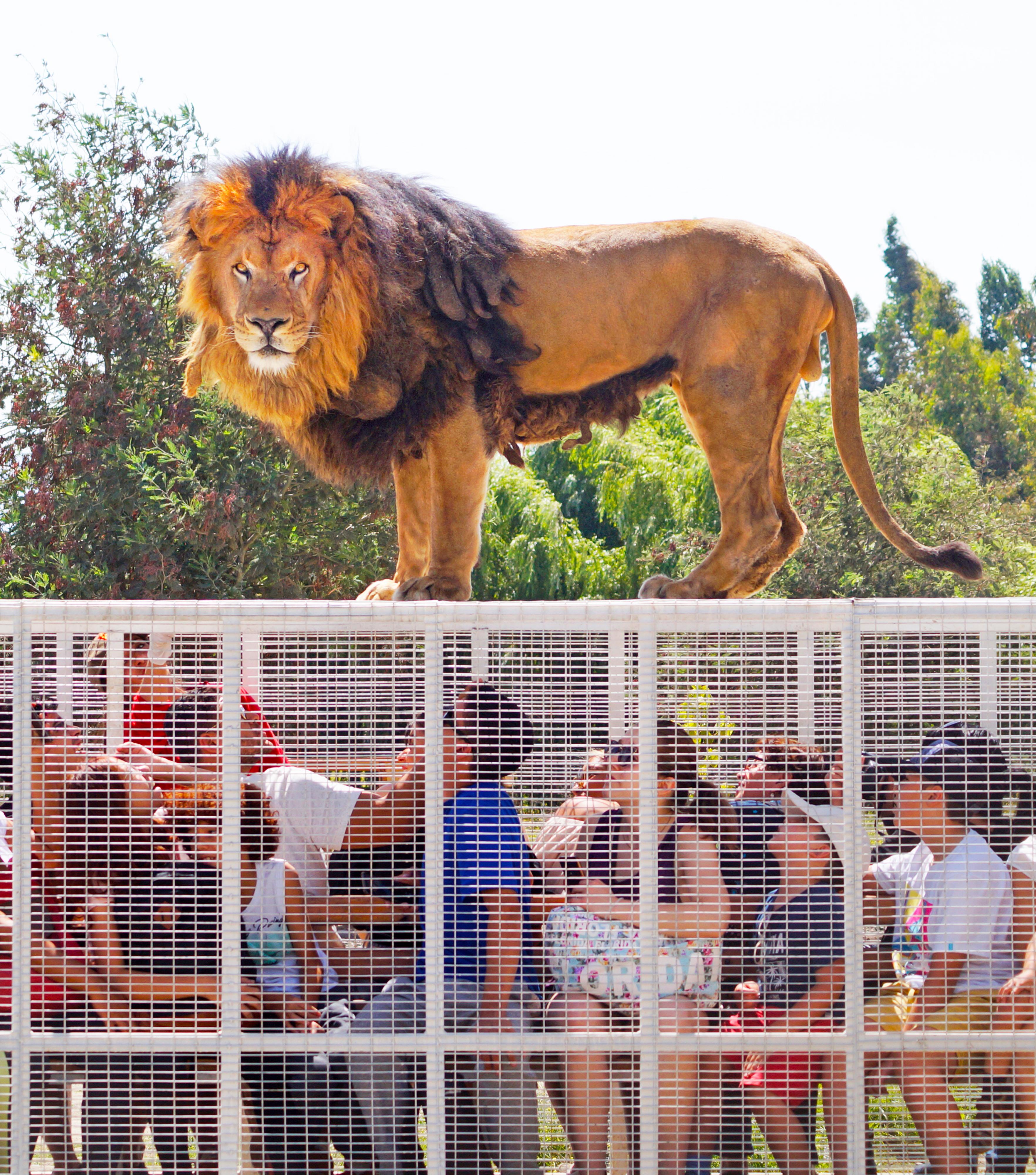 Safari Grande Felinos