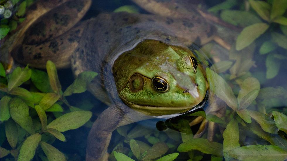 hero_frog.jpg