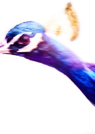the_peacock